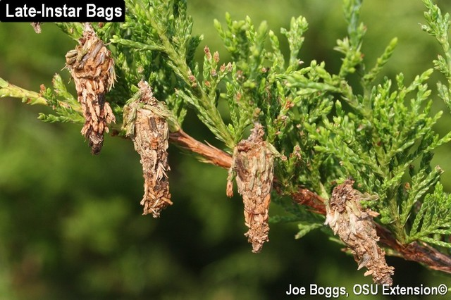 Learn how to get rid of a bagworm infestation.