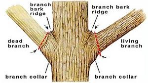 How to properly prune tree branches