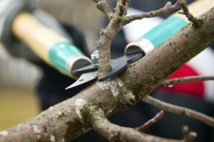 a person is pruning a branch
