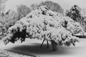 a large tree with branches covered in heavy snow