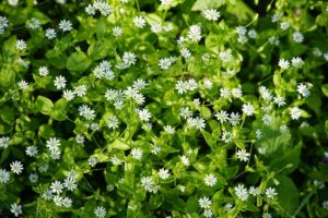 edible weeds chickweed
