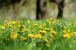 four edible weeds dandelions
