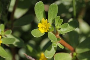 edible weeds purslane