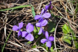edible weeds wild violet flowers