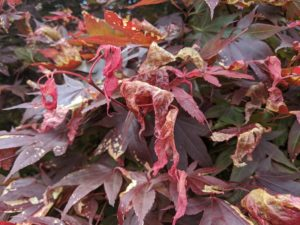 signs of damaged red maples