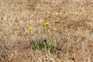 care for grass in a heat wave