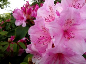 plant shrubs in the fall rhododendrons