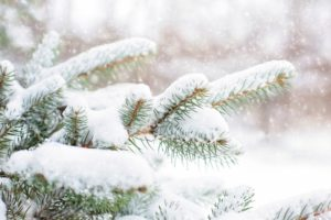 protect evergreen trees from winter burn