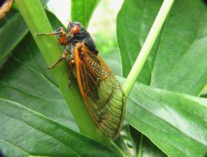 scientific plant service maryland periodical cicadas