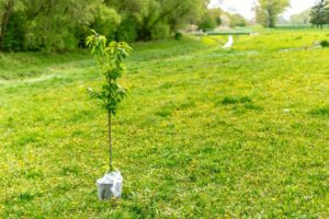 scientific plant service how to plant a tree