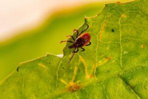 scientific plant service tick bites Lyme disease