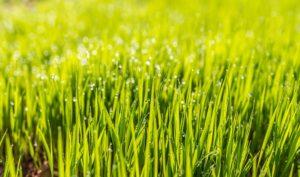 scientific plant service healthy lawn
