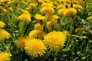 scientific plant service fall pre-emergent herbicides